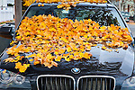 Fallen maple leaves in Newburyport, MA, USA