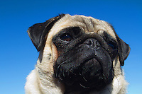 A pug dog face against a blue sky. (photo © karenducey.com)