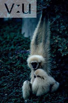 A White-Handed Gibbonm North Sumatra, Malay Peninsula, Thailand, Burma, Yunnan