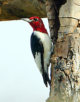 Adult red-headed woodpecker
