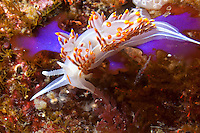 Opalescent Nudibranch ( Hermissenda crassicornis ) underwater in the islands of Haida Gwaii, British Columbia, Canada.