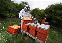 BNPS.co.uk (01202 558833)<br /> Pic: Phil Yeomans/BNPS<br /> <br /> <br /> Chris Wilkes with his endangered British black bee hives in the shadow of Imber church.<br /> <br /> Abandoned villlage becomes a hive of activity once more.<br /> <br /> The deserted village of Imber in the heart of Salisbury Plain has new residents again - 70 years after the army controversially kicked out the 200 parishoners during WW2.<br /> <br /> Bee farmer Chris Wilkes has placed 12 hives of the plucky British black bee behind St Giles church in the hamlet to feast on the extraordinary wildflower habitat of the plain that has been protected from pesticides and intensive farming siince the Army moved in.<br /> <br /> The isolation of the village will in fact ensure that the unique colony can thrive five miles from competing honey bee populations and with a cornucopia of the top nectar producing flowers in the UK surviving on the chalk downlands to feed on Mr Wilkes is hoping that the population will establish itself and produce a honey with the distinctive flavour of one of Britains last wilderness areas.