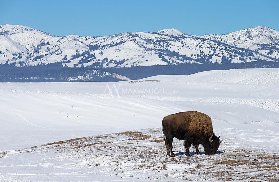 A bison grazes in Hayden Valley.