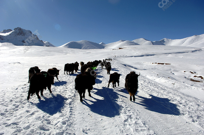 Yak made their way up towards the mountain pass above shores of Lake Namsto, the highest altitude salt lake in the world. November 18, 2006