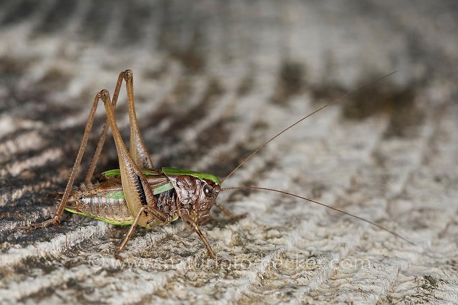 Kurzflügelige Beißschrecke, Kurzflüglige Beißschrecke, Männchen, Metrioptera brachyptera, bog bush cricket, bog bushcricket