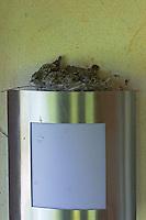 Grauschnäpper, Grau-Schnäpper, Nest mit Küken auf einer Außenlampe an Hausfassade, ungewöhnlicher Nistplatz, Muscicapa striata, Spotted Flycatcher, Gobemouche gris