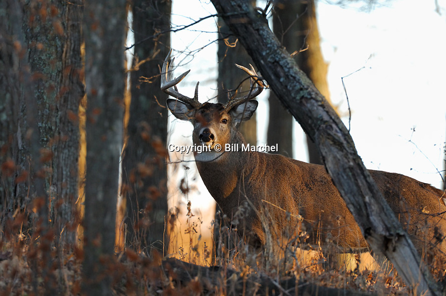 00274-324.07 White-tailed Deer Buck with large body and antlers is in strip of  oaks duirng fall rut.  Hunt, bottleneck, breed.  H6L1