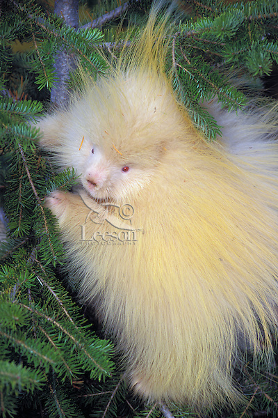 PORCUPINE - albino..Autumn. Rocky Mountains..(Erethizon dorsatum).