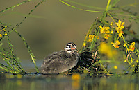 Least Grebe, Tachybaptus dominicus, young in nest by blooming Retama, Willacy County, Rio Grande Valley, Texas, USA, May 2004
