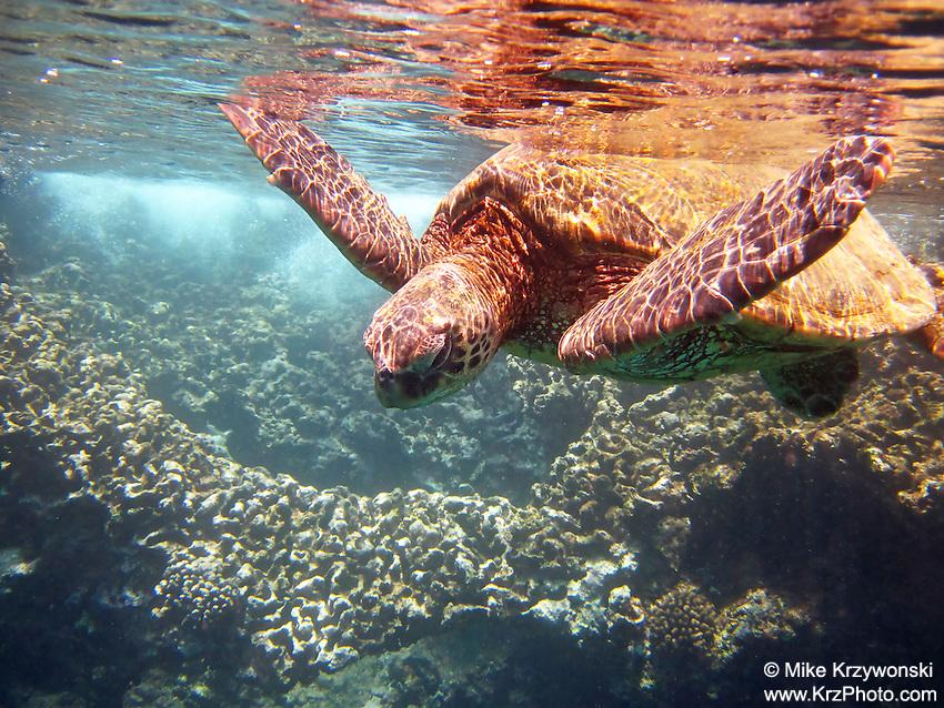 Hawaiian Green Sea Turtle (honu) swimming underwater