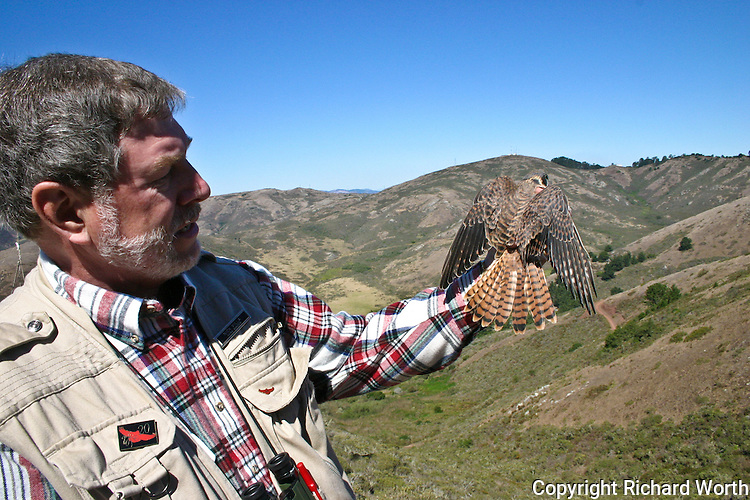 GGRO volunteer Nick Villa holds American Kestrel in the Marin Headlands