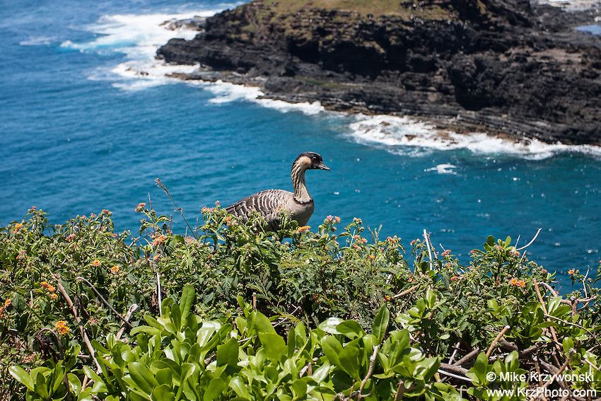 Nene goose, Kilauea Point <br /> National Wildlife Refuge, Kauai