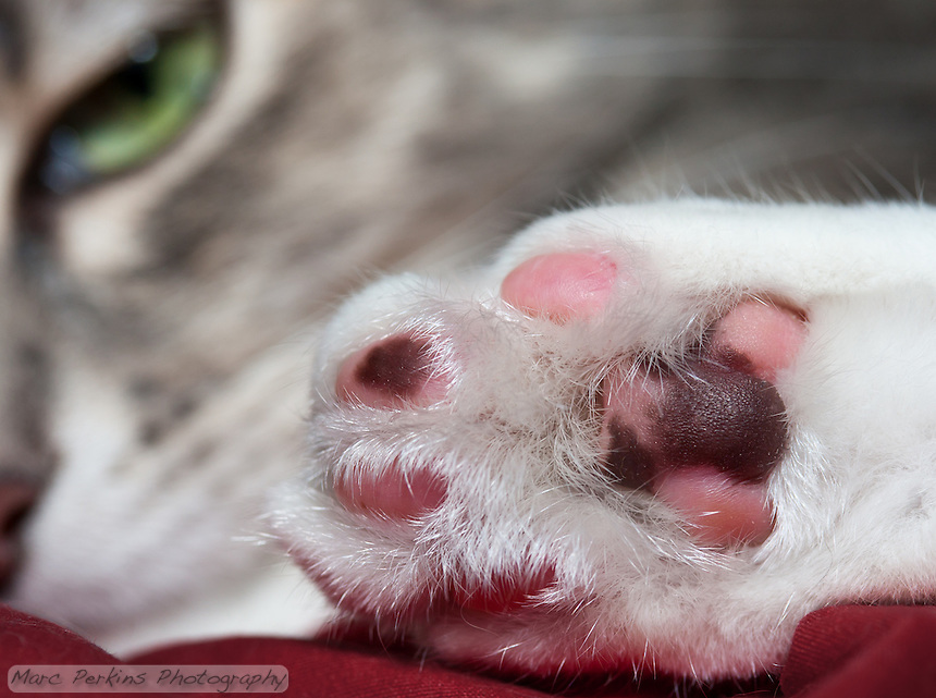 A closeup of Lucca's hind paw, with her beautiful green eye and nose staring at you from the background in soft focus.  Her paw pad leathers are multicolored because she's a dilute caliby (blue patched tabby and white), so the leathers are patterned just like the rest of her is.  The leathers are a mix of two colors: blue (dilute black) and pink/rose.  The texturing on the pads is also visible; it's like she's got all-terrain tire treads on her paws :)