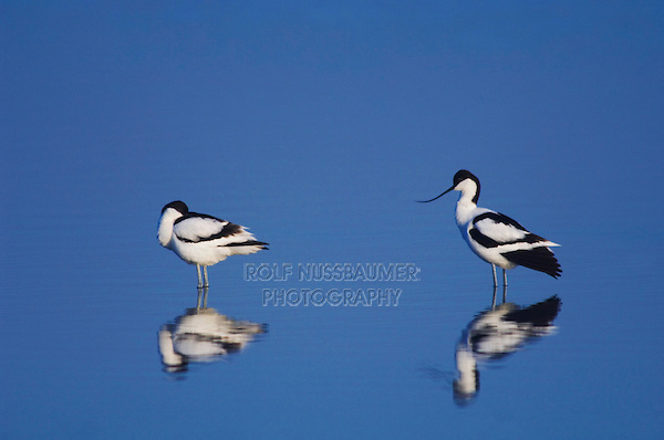 Pied Avocet, Recurvirostra avosetta, adults resting, National Park Lake Neusiedl, Burgenland, Austria, April 2007