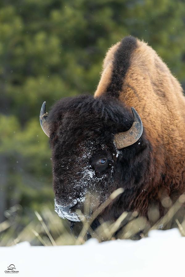 Huge bull Bison (Bison Bison) feeding in the snow.