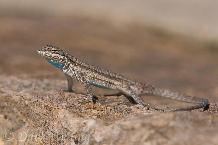481250003 a tree lizard urosaurus ornatus sits on a concrete wall in texas canyon texas united states