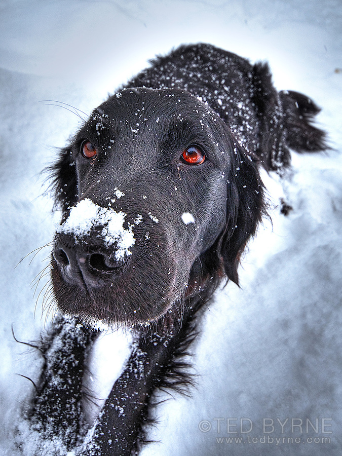 Wide angle close up frontal of black retriever with snow on nose