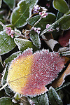 Close-up of frost on yellow and red leaf