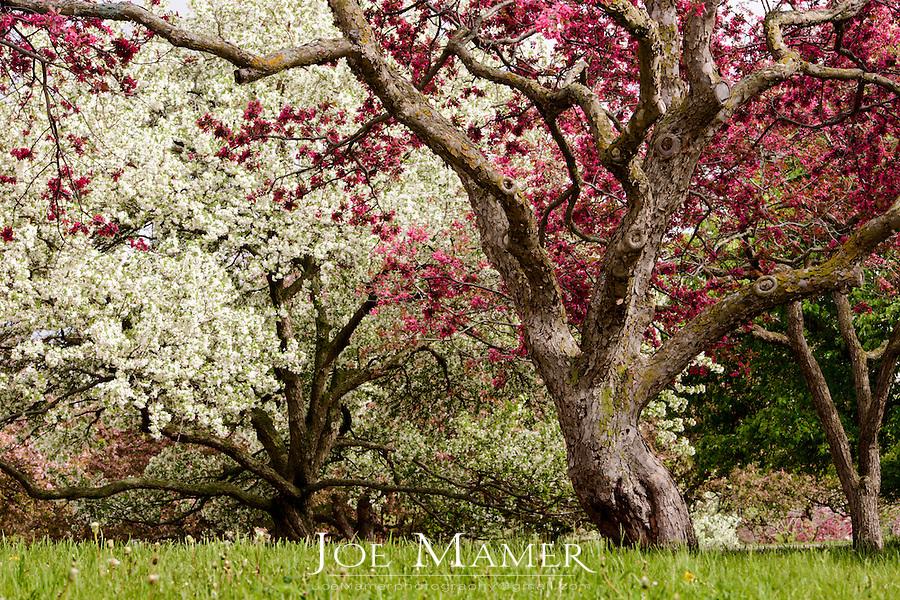 Apple trees in bloom at the Minnesota Landscape Arboretum.