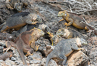 Large and colorful land iguanas roam the Galapagos Islands.  Here, a feeding frenzy erupts over the iguana's favorite food: prickly pear cactus.
