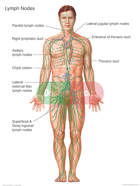 Anterior view of the lymphatic system, with labeled lymphatic structures include the thoracic duct, entrance of the thoracic duct, lateral jugular lymph nodes, parotid lymph nodes, right lymphatic trunk, axillary lymph nodes