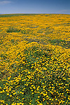 Field of yellow wildflowers bloom in spring at Frazer Point, Santa Cruz Island, Channel Islands, California