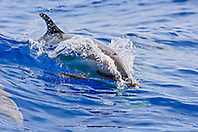 pantropical spotted dolphin, Stenella attenuata, baby wake-riding, offshore, Kona Coast, Big Island, Hawaii, USA, Pacific Ocean