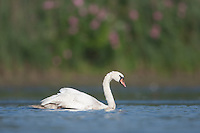 Mute Swan (Cygnus olor) swimming on the East Pond, Jamaica Bay Wildlife Refuge
