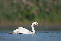 Mute Swan (Cygnus olor) swimming on the East Pond, Jamaica Bay Wildlife Refuge