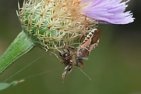 Bee Assassin Bug (Apiomerus crassipes), adult feeding on Honey Bee (Apis mellifera), Hill Country, Central Texas, USA
