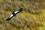 Andean Condor (Vultur gryphus) female flying, Torres del Paine National Park, Patagonia, Chile