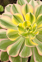 Aeonium Sunburst in pink, cream, yellow, green variegated very colorful drought tolerant succulent leaves