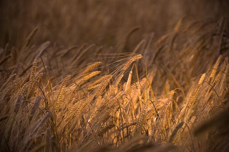 Ripening corn in a field in summer light