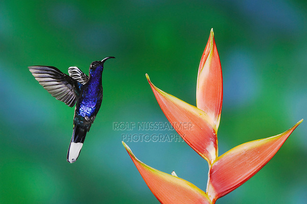 Violet Sabrewing, Campylopterus hemileucurus, male in flight feeding on Heliconia flower, Central Valley, Costa Rica, Central America