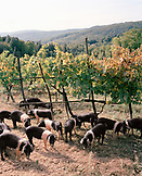 ITALY, Siena, group of Cinta Cinese pigs grazing at the farm of Castello Di Spannochia.