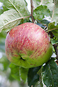 Apple 'Baxter's Pearmain', mid September. An early 19th century English dessert apple, originally from Norfolk.