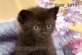 Marek, ANIMALS, REALISTISCHE TIERE, ANIMALES REALISTICOS, cats, photos+++++,PLMP2273,#a#