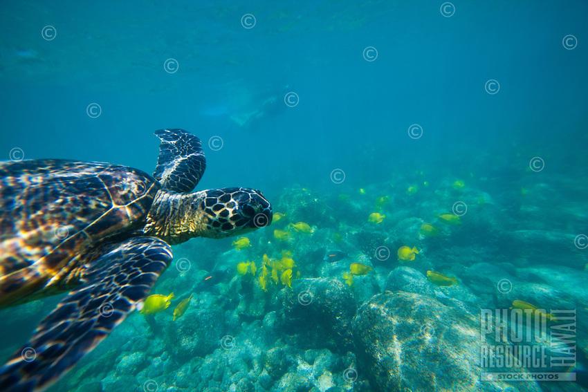 A woman snorkles at a distance from a green sea turtle or honu near Puuhonua o Honaunau, or the City of Refuge, near Kealakekua Bay, Big Island