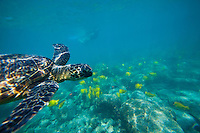 A woman snorkles at a distance from a green sea turtle or honu near Puuhonua o Honaunau, or the City of Refuge, near Kealakekua Bay, Big Island