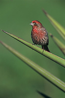 House Finch, Carpodacus mexicanus, male on Trecul Yucca (Yucca treculeana), Lake Corpus Christi, Texas, USA, March 2003
