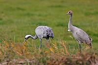 Kranich, mit Jungvogel, Grus grus, Crane, Grue cendrée