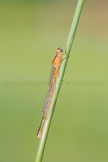 A female Eastern Forktail (Ischnura verticalis) damselfly perches on a plant stem.