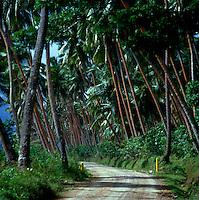 Empty palm tree lined road Lautoka, Fiji Islands, South Pacific. 1980