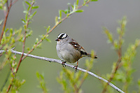 White-crowned Sparrow (Zonotrichia leucophrys).  Western U.S., summer.