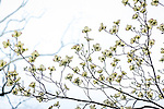 Dogwood blossoms at the Arnold Arboretum in the Jamaica Plain neighborhood, Boston, Massachusetts, USA