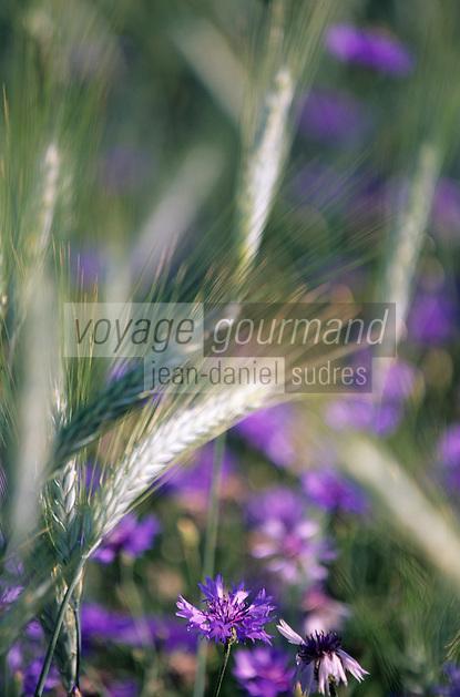 Europe/France/Auvergne/43/Haute-Loire/Env de Saint-Bonnet-le-Froid: Champ de céréales et bleuets