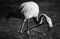Flamingo, Ilford Delta Film  2020