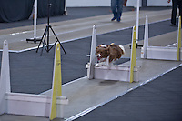 Santa Paws Flyball Tournament Dec 2013