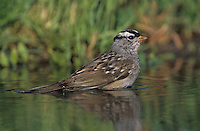 White-crowned Sparrow, Zonotrichia leucophrys, adult bathing, Welder Wildlife Refuge, Sinton, Texas, USA
