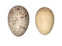 Cuckoo - Cuculus canorus egg (left)<br /> and host robin egg (right)